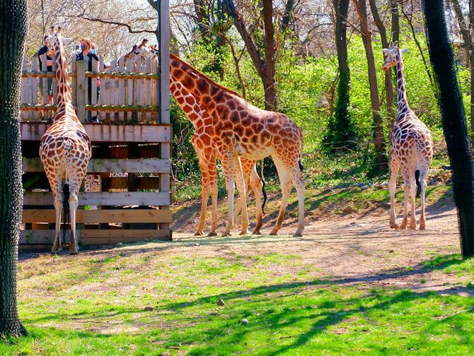 Giraffes - The Bronx Zoo NYC