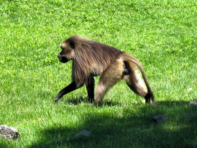 Monkey at The Bronx Zoo NYC